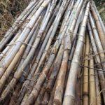 マメ科の支柱用の竹集め