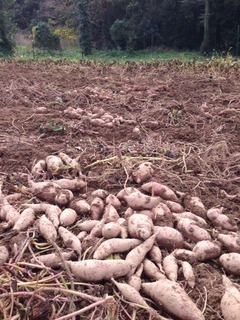 農薬不使用の芋掘りをお手伝い
