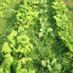 畑の作物の混植を見ながら