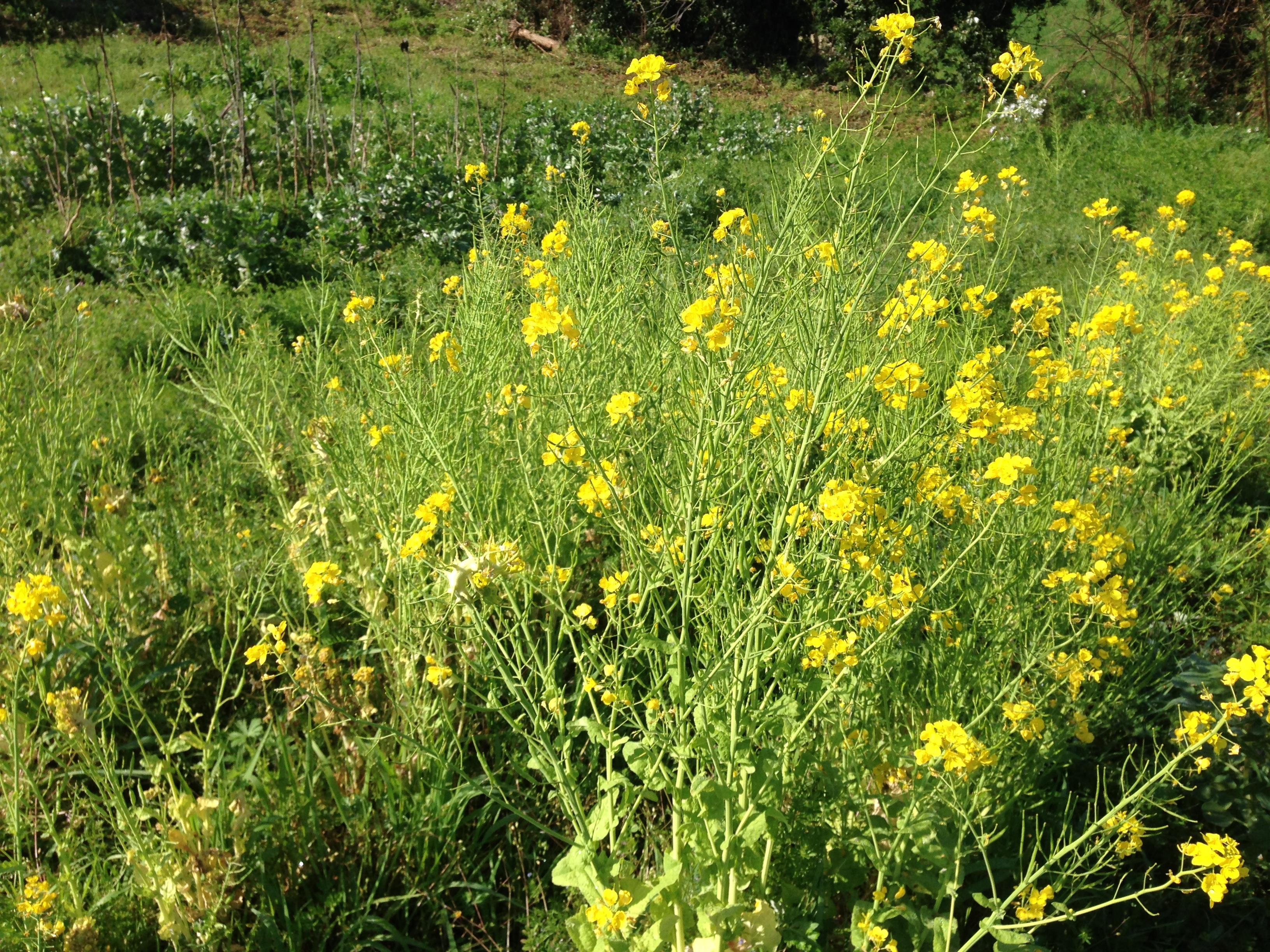 そら豆の管理から、草との向き合い方を考える