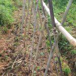 インゲンの支柱立てと最近の畑の様子です。