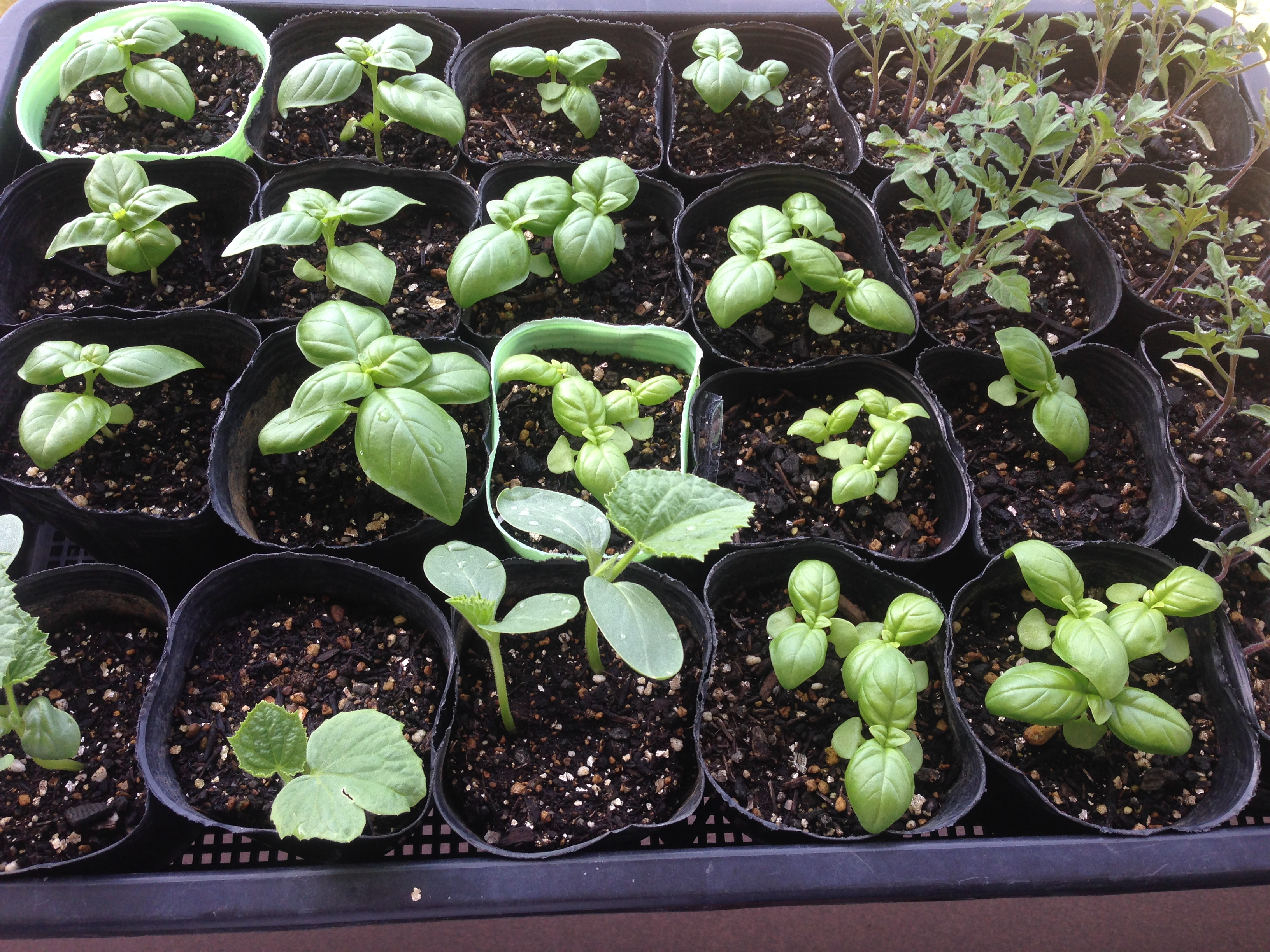 生育中の作物の様子をUPします。~夏に向けて~